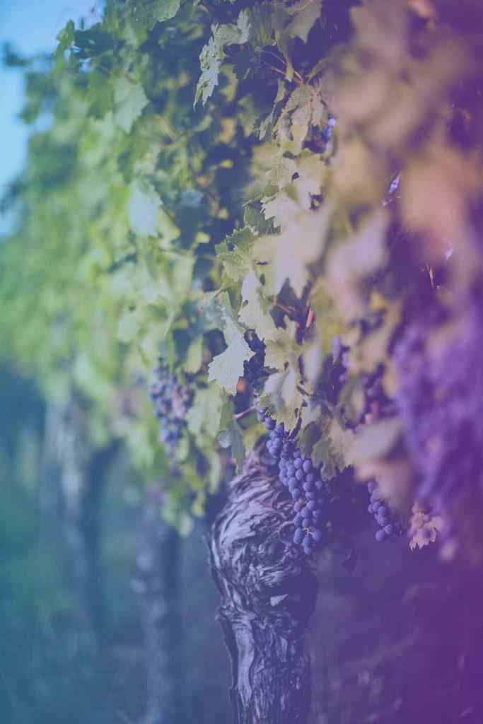 vigne-raisin-viticulture