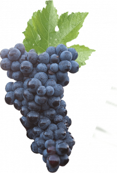 raisin-bordeaux